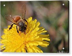 Bee And Dandelion Acrylic Print by Lorri Crossno