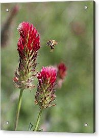 Bee At Work Acrylic Print