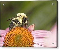 Bee At Work Acrylic Print by Robert Culver