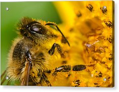 Bee At Work Acrylic Print