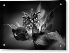 Bee Balm 10 Acrylic Print