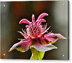 Acrylic Print featuring the photograph Bee Balm's Beauty by VLee Watson