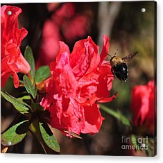 Bee Big With Stinger Tailing Acrylic Print