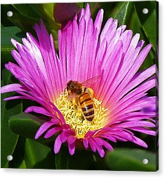 Bee Collecting Pollen On Pigface Flower Acrylic Print by Margaret Saheed