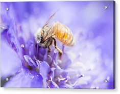 Bee Dream Acrylic Print by Caitlyn  Grasso