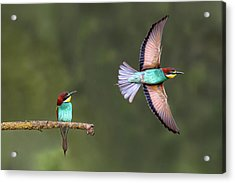 Bee-eater Going For Food Acrylic Print by Xavier Ortega
