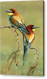 Bee-eaters In Love Acrylic Print