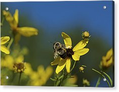 Acrylic Print featuring the photograph Bee Good - Bee On Yellow Wildflowers by Jane Eleanor Nicholas