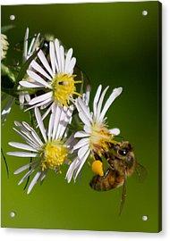 Bee Harvest Acrylic Print