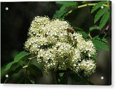 Bee Hovering Over Rowan Truss - Featured 3 Acrylic Print by Alexander Senin