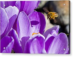 Bee In Flight Acrylic Print by Bob Noble Photography