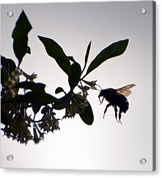 Bee In Flight  Acrylic Print by Kerri Farley