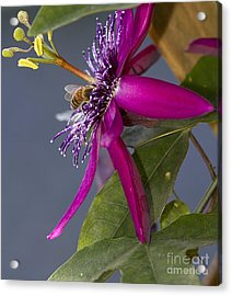 Bee In Passion Flower Acrylic Print by Anne Rodkin