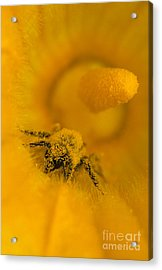 Bee In Pollen Acrylic Print