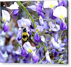 Bee In The Wisteria Acrylic Print by Will Borden