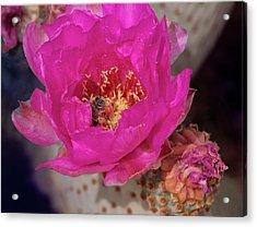 Bee On A Beavertail Acrylic Print
