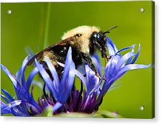 Bee On A Blue Flower Acrylic Print by Matt Dobson