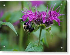 Bee On Bee Balm Acrylic Print by Robert  Moss