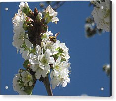 Bee On Cherry Blossoms Acrylic Print