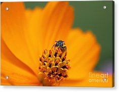 Bee On Cosmo Acrylic Print by Lisa L Silva