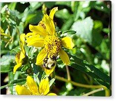 Bee On Flower Acrylic Print