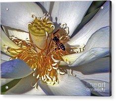 Bee On Lotus Acrylic Print by Savannah Gibbs