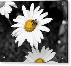 Bee On My Daisy Acrylic Print by Kimberly Elliott