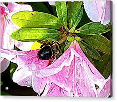 Bee On  Pink Azalea Acrylic Print by Kathy  White