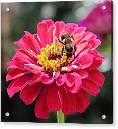 Acrylic Print featuring the photograph Bee On Pink Flower by Cynthia Guinn