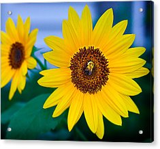 Bee On Sunflower Acrylic Print by Michael Fisher