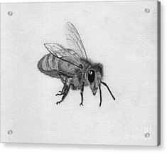 Bee Pencil Drawing Acrylic Print by Dan Julien