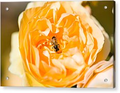 Bee Pollinating A Yellow Rose, Beverly Acrylic Print by Panoramic Images