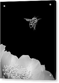 Acrylic Print featuring the photograph bee rising #2 B/W by Len Romanick