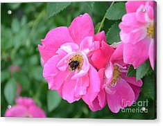 Acrylic Print featuring the photograph Bee Rosy by Laurel Best