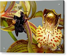 Bee With Pollen Sac On Its Back Acrylic Print