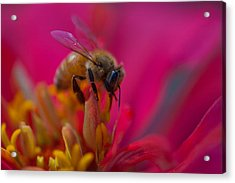 Bee Within Flower Acrylic Print by Sarah Crites