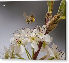 Bee Working The Bradford Pear 2 Acrylic Print