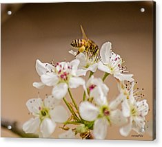 Bee Working The Bradford Pear 4 Acrylic Print