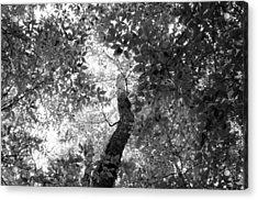 Beech And Maple Acrylic Print