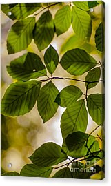 Beech Leaves And Bokeh Acrylic Print
