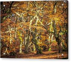 Beech Tree Group In Autumn Light Acrylic Print by Martin Liebermann