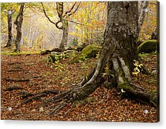 Beechwood Acrylic Print by Javier Fores