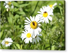 Bees And Daisies Acrylic Print by Suzi Nelson