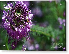 Bees In Purple Acrylic Print
