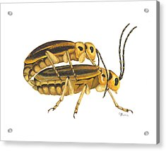Chrysomelid Beetle Mating Pose Acrylic Print by Cindy Hitchcock