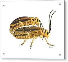 Chrysomelid Beetle Mating Pose Acrylic Print