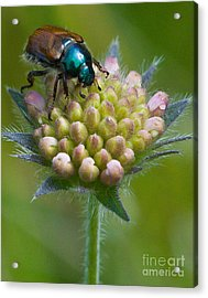 Beetle Sitting On Flower Acrylic Print