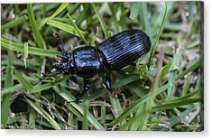 Beetle Acrylic Print by Steven  Taylor