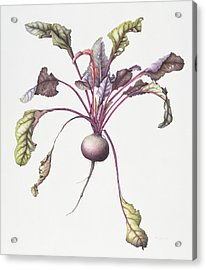 Beetroot Acrylic Print by Margaret Ann Eden