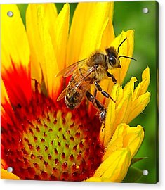 Beezy Bee Acrylic Print by Nick Kloepping